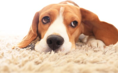 3 Surprising Effects Pet Stains Can Have On Your Carpet